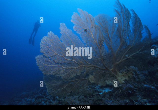 diver and gorgonian coral sea fan in the western pacific - Stock Image