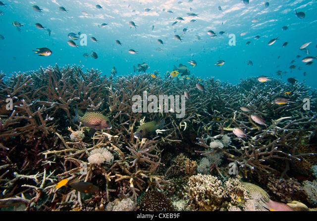 Reef scene at Nalusuan Marine Sanctuary, Cebu, Philippines, Southeast Asia, Asia - Stock Image