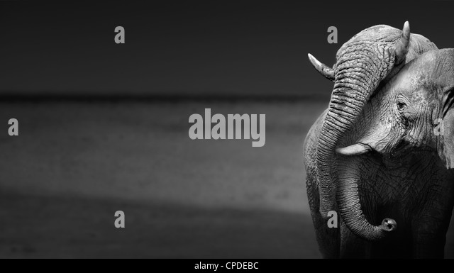 Elephants interacting (Artistic processing) - Stock Image