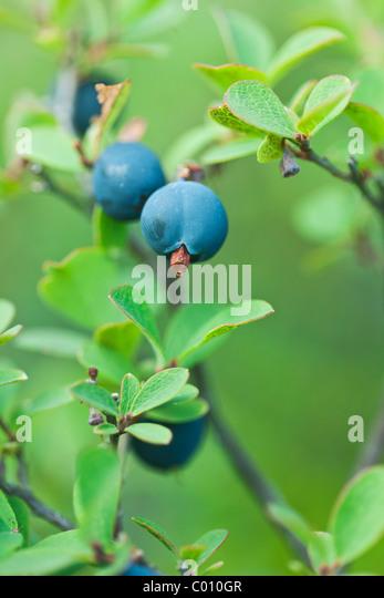 Blueberries in the wild - macro shot - Stock-Bilder