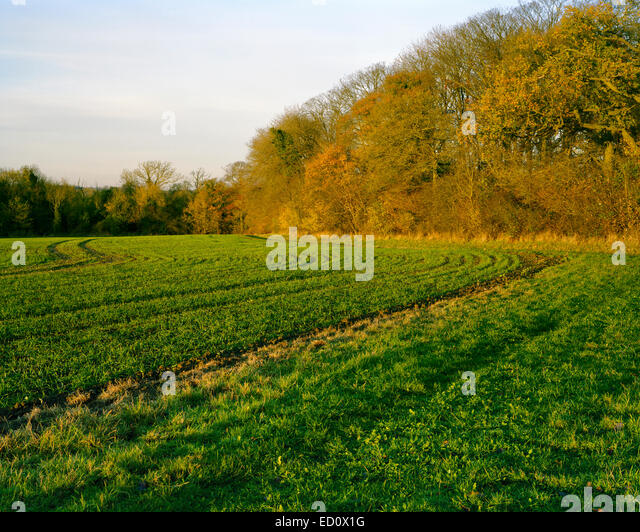 Newly sown wheat field in autumn in Cambridgeshire - Stock Image