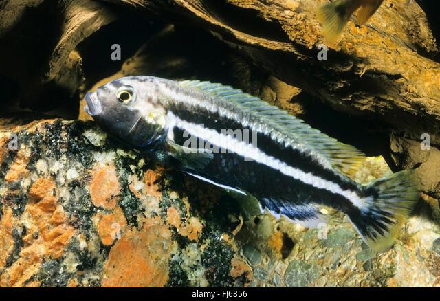 Golden mbuna, Auratus cichlid, Malawi golden cichlid (Melanochromis ...