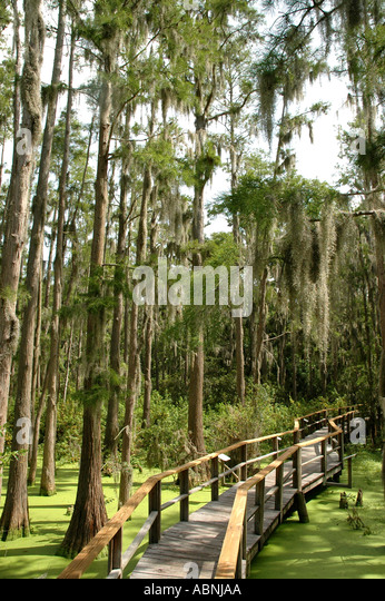 Tarpon Springs Florida Innisbrook Resort Nature Trail through Cypress Swamp Duckweed in pond - Stock Image