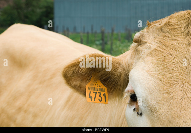 Cow with ear tag, close-up - Stock Image
