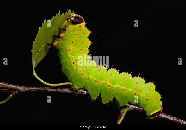 Luna or Moon Moth Caterpillar Actias luna larvae feeding on birch leaves bright green - Stock-Bilder