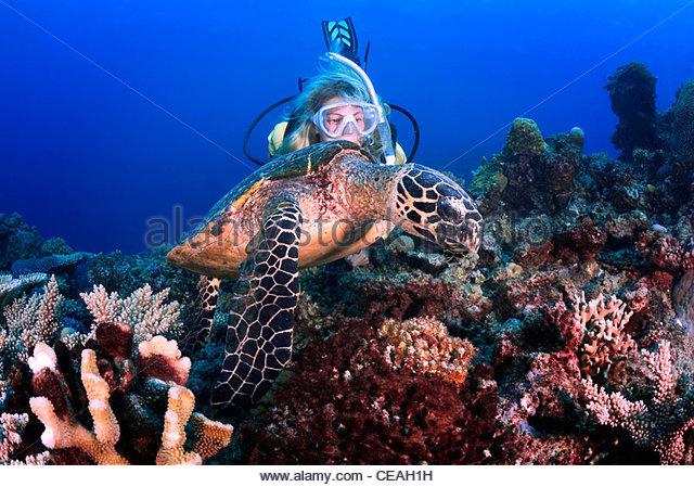 Hawksbill Seaturtle (Eretmochelys Imbricata), Flynn Reef, Great Barrier Reef Australia - Stock Image