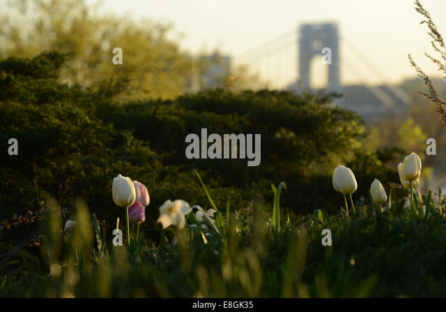 USA, New York State, New York City, Tulips in springtime - Stock Image