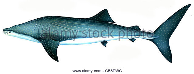 Series fish Whale Shark Rhincodon type Sharks fish fish pisces - Stock-Bilder