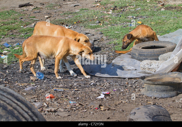 Stray dogs in a village in rural Kenya. - Stock Image
