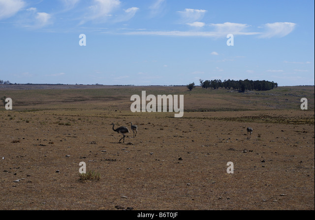 rhea birds in the pampa, Uruguay - Stock Image
