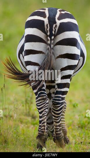 Zebra. Back view. Kenya. Tanzania. National Park. Serengeti. Maasai Mara. An excellent illustration. - Stock Image