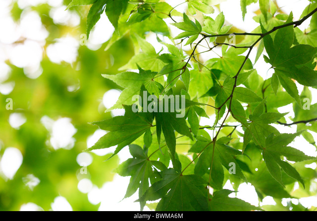 atmospheric and dreamy maple tree with winged samaras Jane-Ann Butler Photography JABP917 - Stock Image