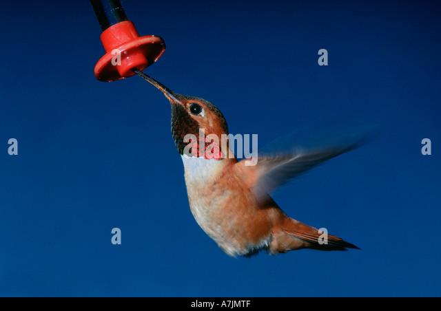 Male rufous hummingbird feeding from feeder in springtime - Stock Image