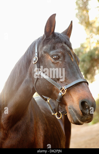 Close up portrait of brown horse - Stock Image