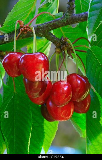 how to tell when rainier cherries are ripe
