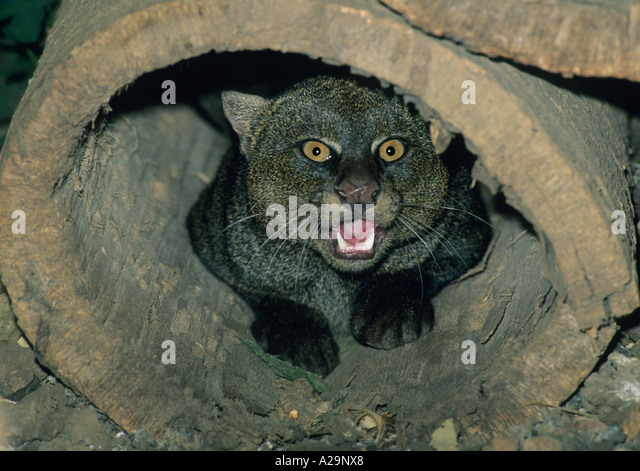 JAGUARUNDI, (Felis yagouaroundi) Costa Rica, captive. - Stock Image