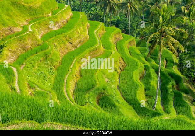 Famous attraction of Ubud - Tegallalang Rice Terraces in Bali, Indonesia - Stock Image