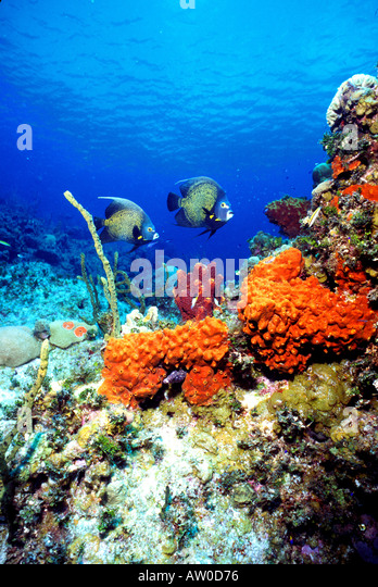 underwater French angelfish colorful orange red sponges corals clear blue caribbean water - Stock Image