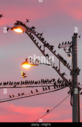 Common starlings, Sturnus vulgaris, roosting on power lines and a light post at sunrise. - Stock-Bilder