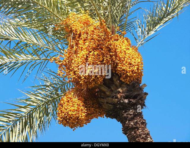 Bunch of colourful dates on the palm tree - Stock Image