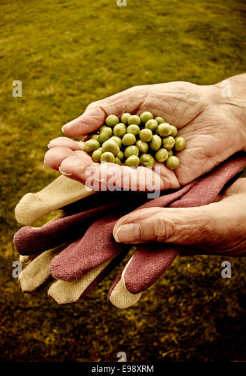Senior persons hands holding freshly picked garden peas. - Stock Image