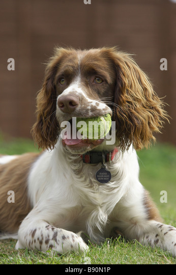 English Springer Spaniel (Canis lupus familiaris) with tennis ball in the mouth - Stock Image