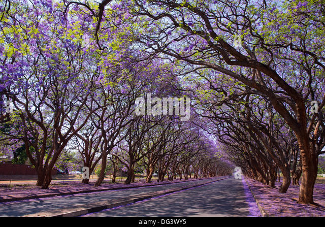 Blooming Jacaranda trees lining Milton Avenue, Harare, Zimbabwe - Stock Image
