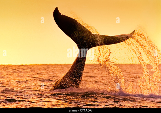 Fluke of Humpback Whale, Megaptera novaeangliae, Hawaii, USA - Stock-Bilder