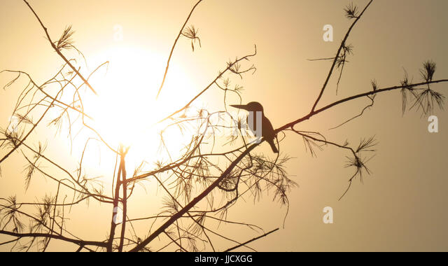 A silhouette of an Indian kingfisher sitting on the tree at sunset time. - Stock Image