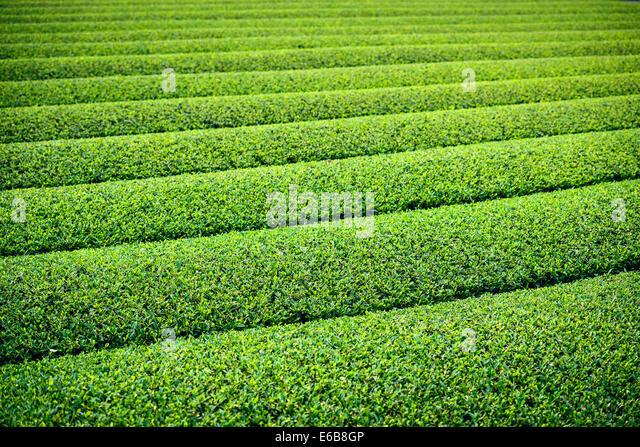 Tea Plantation in Yokkaichi, Japan. - Stock Image