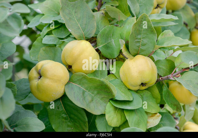 cydonia oblonga quince fruit on stock photos cydonia oblonga quince fruit on stock images alamy. Black Bedroom Furniture Sets. Home Design Ideas