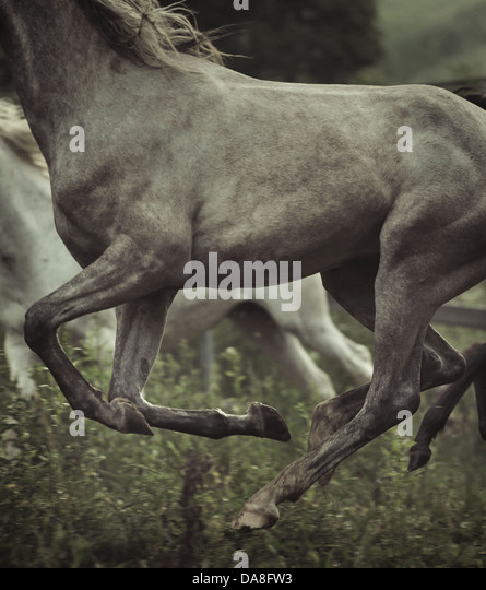 Picture of grey horse's body elements - Stock Image