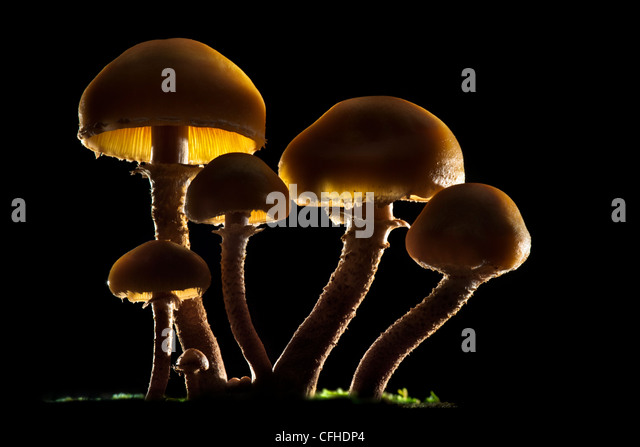 Brown Stew Fungus backlit. Tirol, Austrian Alps - Stock Image