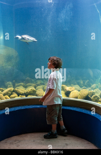 Small boy loking at penguin swimmng in aquarium in Zoo. - Stock Image