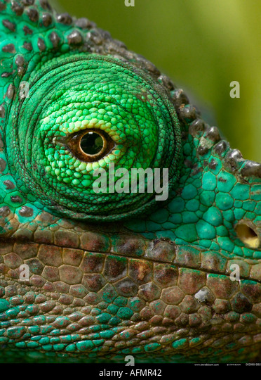 Close up of the eye of a Parson s chameleon Perinet Madagascar - Stock-Bilder