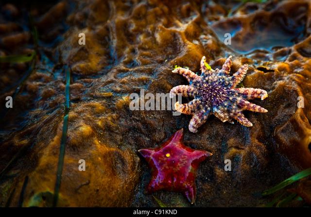 Close up of Seastars exposed at low tide,  Clover Passage, Ketchikan, Southeast Alaska, Summer - Stock Image