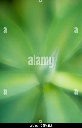 agave leaf pattern, Lensbaby Soft FocusOptic - Stock Image
