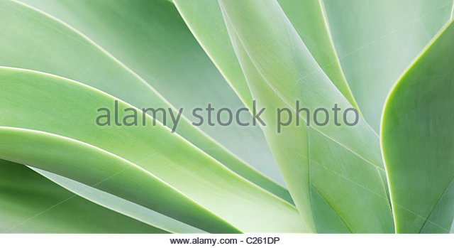 Agave attenuata plant. Panoramic - Stock Image