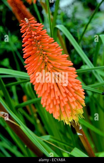 Red hot poker urban dictionary