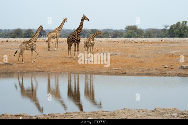 Giraffes (Giraffa camelopardalis) at a waterhole, Etosha National Park, Namibia - Stock Image