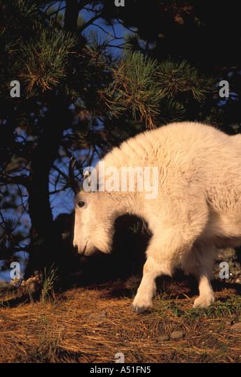 Rocky Mountain goat closeup portrait detail walking bright white coat game animal south dakota - Stock Image