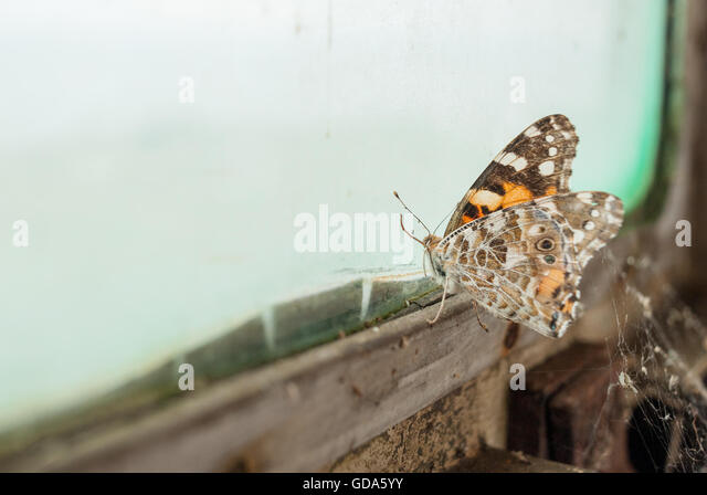 Butterfly trapped by old, dirty train window - Stock Image
