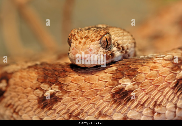 Collectiongdwn Great White Shark Attack Victims in addition Ocellatus in addition These Species Are The Biggest Threat To Human Life 14 Photos moreover A Sea Snake Can Kill As Many As 1000 People With Its Venom as well Kobe Bryant Black Mamba Logo Theme For. on ocellated carpet viper
