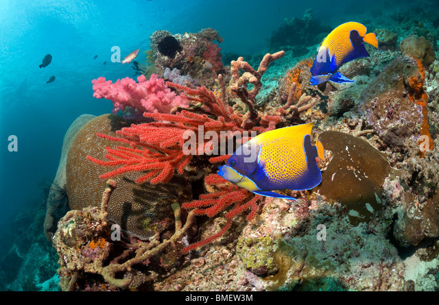 Blue-girdled angelfish swimming past soft coral on reef.  Misool, Raja Ampat, West Papua, Indonesia. - Stock-Bilder