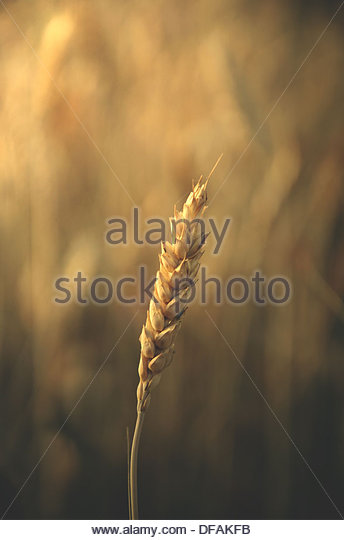 golden wheat - Stock Image