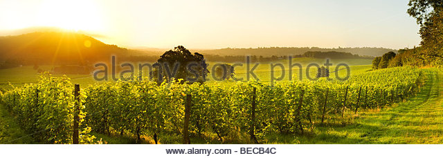 Sunrise over Denbies Vineyard & Wine Estate, near Dorking, Surrey, England - Stock Image