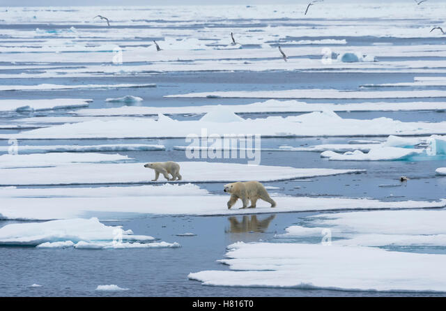 Mother polar bear (Ursus maritimus) with two cubs walking and swimming over melting ice floe, Svalbard archipelago - Stock Image