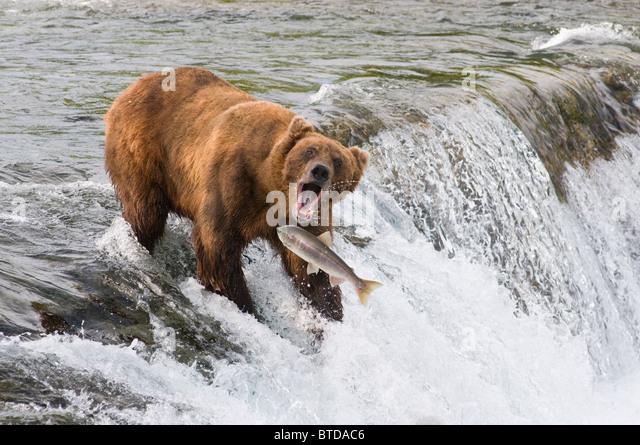 Brooks falls stock photos brooks falls stock images alamy for Bear catching fish