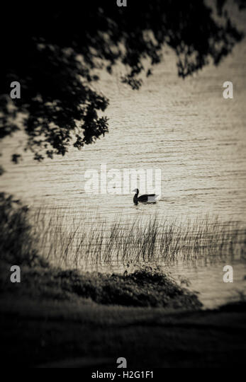 Bird swimming in lake and dark silhouette of tree. Moody and ominous nature scene. - Stock-Bilder