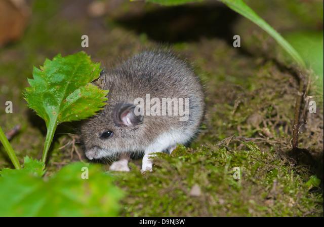 a-woodland-vole-microtus-pinetorum-hidin